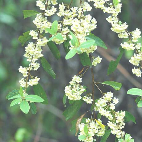 【アロマ】リツエアクベバ(メイチャン)精油<br />-植物の特徴・期待される効果効能とは?