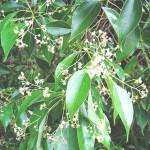 【アロマ】ラヴィンサラ精油<br />-植物の特徴・期待される効果効能とは?