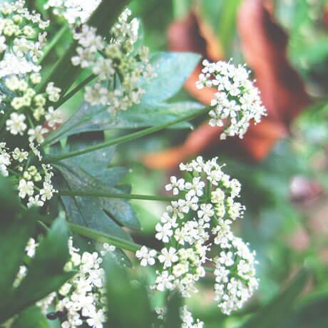 セロリシード(Celery seed)
