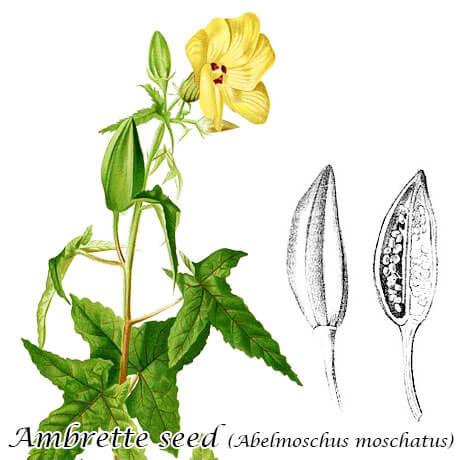 アンブレットシード(Abelmoschus moschatus)