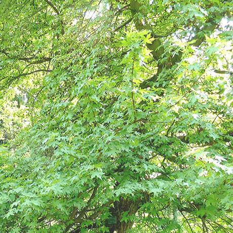 Liquidambar orientalis arboretum Breuil 1