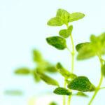 レモンタイム精油<br />アロマ・エッセンシャルオイルと期待される効果効能紹介