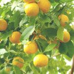 オレンジ・ビター精油<br />アロマ・エッセンシャルオイルと期待される効果効能紹介